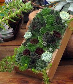 Drought Tolerant Succulent Container Garden Plans | Succulent Containers, Garden  Planning And Echeveria Imbricata