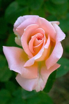 Rose Gardening His love was like a spring rose,too sweet, too fragile to last .nothing but memory lingers. - A half-opened rose. Beautiful Rose Flowers, Pretty Roses, Love Rose, Flowers Nature, Amazing Flowers, Beautiful Flowers, Flowers Garden, Exotic Flowers, Purple Flowers