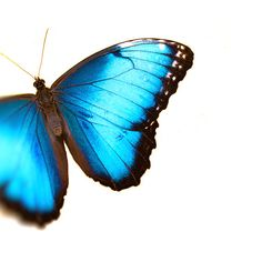 Butterfly photograph blue butterfly blue morpho by bomobob on Etsy, $30.00