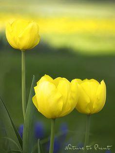 Leinwandbild gelbes Blütenmeer im Hochformat