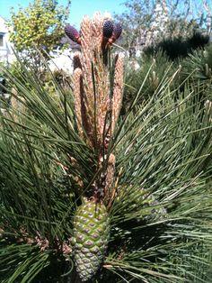 Spring..Pine Cones emerging