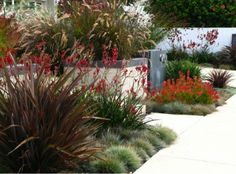 Garden Ideas Landscaping Ideas Coastal plant Seaside plant drought tolerant plant Debora Carl Landscape Kangaroo paws Leucadendron Blue FescueDwarf Fountain Grass Pennisetum Setaceum Phormium New Zealand Flax Inexpensive Landscaping, Small Front Yard Landscaping, Modern Landscaping, Outdoor Landscaping, Landscaping Design, Coastal Landscaping, Landscaping Software, Landscaping Company, Driveway Landscaping