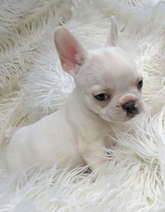 Teacup French Bulldog Puppy 6