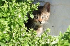 #Cats are beloved in #Greece especially on Mt. Athos where they play their important roll of rodent control for the #monasteries &  the in the fields of wine grapes & produce. @visithalkidiki #travelwriter #culturaltourism #catskills #balanceofnature