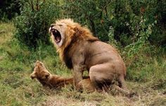 Animal mating pics taken on different occasions of a lion couple and a hyena couple mating in the Masai Mara and the Kruger Park. Funny Animal Photos, Funny Animals, Funny Pictures, Wild Animals, Awkward Animals, Large Animals, Lions And Hyenas, Lion Couple, Funny Lion