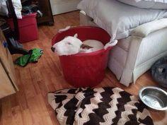 Bucket-O-Bully #bullterrier #dogs