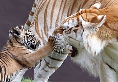 Pi, a  three-month-old cub who weighs just 12kg, swats Sita a 12-year-old 160kg female Bengal tiger at Dreamworld Zoo on the Gold Coast in Australia. Sita responded by letting out such a fearsome roar that it sent the tiny cub rolling head over tail