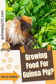 Guinea pigs need a variety of vegetables daily to maintain a well-balanced and nutritious diet. Some guinea pig owners often wonder if growing food for guinea pigs is possible. How long will it take? So, I decided to try it myself, and here is what I found out! #guineapig101 #guineapigs #smallpets #pets Guinea Pig Food, Pet Guinea Pigs, Outdoor Metal Plant Stands, Guinea Pig Information, Pig Diet, Easy Vegetables To Grow, Pig Stuff, Organic Seeds, Wheat Grass