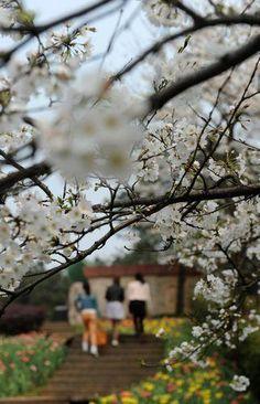 一足早い花見 中国・湖南省の桜が見ごろに|新華社日本語経済ニュース-XINHUA.JP - 中国の経済情報を中心としたニュースサイト。分析レポートや特集、調査、インタビュー記事なども豊富に配信。
