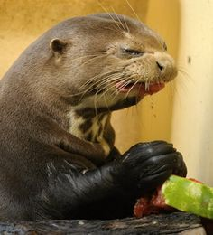 Evil looking otter eats watermelon  http://dailypicksandflicks.com/2012/09/07/evil-looking-otter-eats-watermelon-picture-gallery/