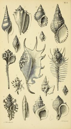 #6 nz - 1868 - A manual of the Mollusca : a treatise on recent and fossil shells / by Dr. S. P. Woodward ; illustrated by A. N. Waterhouse and Joseph Wilson Lowry. via BHL