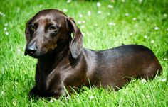 shiney silky smooth perfect doxie..what next world peace..god bless all the animals and may peace b with them 4 ever
