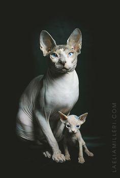 Sphinx kitty