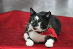 PINTO...PITTSBURGH, PA...Meet Pinto, what a sweetheart.  He is a very mild mannered, cute as a button kitty. Pinto loves to show affection and is always the first to run up and be petted when you walk in the door.  His face is one of a kind looking like he was splashed with...