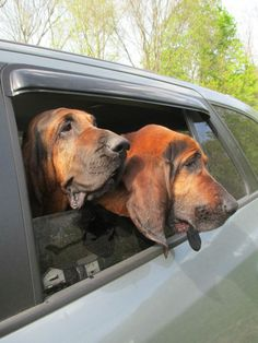 Madison and Guinness.  I love Bloodhounds.