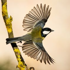 Great Tit in flight - inspiration for a tattoo
