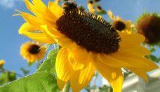 HD Sunflower Wallpaper for desktop Sunflower Wallpaper, Happy Flowers, Black Eyed Susan, Amazing Flowers, Roots, Dandelion, Eat, Sunflowers, Plants