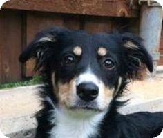 Fort Worth, TX - Border Collie/Sheltie, Shetland Sheepdog Mix. Meet MIRANDA, a dog for adoption. http://www.adoptapet.com/pet/11358144-fort-worth-texas-border-collie-mix