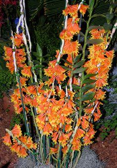 Orchid: Dendrobium obtusisepalum - Flickr - Photo Sharing!