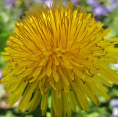 Dandelions are very effective for cleaning the blood and also helping with related issues, such as anemia. In Native American culture, it was also used as a laxative and a tonic of overall wellbeing.