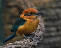 Micronesian Kingfisher, Pacific Islands of Guam, Pohnpei, & Palau