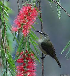 Western Olive Sunbird(Cyanomitra obscura)