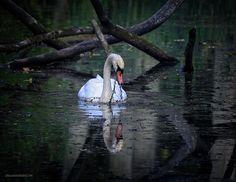 Swan Reflections By LeeAnn McLaneGoetz McLaneGoetzStudioLLC.com  Swan Reflections Lake Saint Clair Metro Park Michigan
