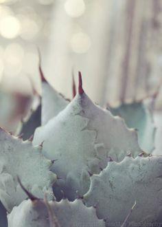 From: JessaMaePhoto  http://www.etsy.com/listing/62458389/sparkling-mint-succulent-dreamy-soft