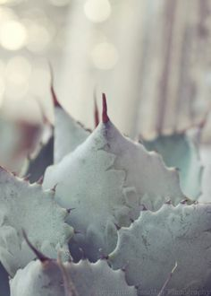 From: JessaMaePhoto  http://www.etsy.com/listing/62458389/sparkling-mint-succulent-dreamy-soft