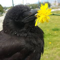 Canuck the Crow
