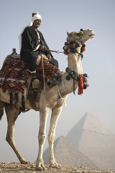 A Bedouin guide on camel-back overlooking the Pyramids of Giza, Cairo, Egypt, Africa