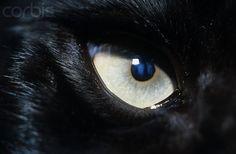 Black panther eye - Ojo de pantera negra