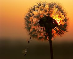 ozonebaby: Dandelion don't tell no lies .Dandelion will make you wise .Tell me if she laughs or cries .Blow away dandelion, blow away da. Foto Fun, Deepak Chopra, Make A Wish, Belle Photo, Pretty Pictures, Random Pictures, Beautiful World, Wonders Of The World, Dawn
