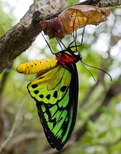 Cairns Birdwing, Australia's Largest Endemic Butterfly- we've got these beautiful butterflies in our park! Flying Flowers, Butterflies Flying, Beautiful Butterflies, Paper Butterflies, Butterfly Kisses, Butterfly Flowers, Butterfly Stencil, Butterfly Pictures, Butterfly Template