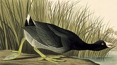 By John James Audubon (1785-1851), American Coot (Fulica americana, Foulque d'Amérique), The Birds of America.