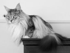 Serefina. Maine coon cat. It's behind you!