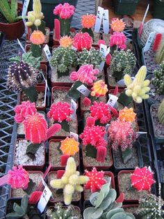 Not sure what we would do with these, but they are really cool!  Cactus Centerpieces :  wedding flowers