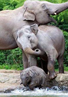 Happiness at Dublin Zoo. Is there room to roam? Happiness at Dublin Zoo. Is there room to roam? Photo Elephant, Cute Baby Elephant, Elephant Family, Cute Baby Animals, Funny Animals, Elephant Art, African Elephant, Elephants Photos, Save The Elephants