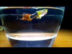The way to Make 1 million Beautiful Guppies fish in your aquarium tank b...