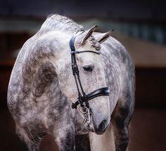 Beautiful Lusitano stallion Danúbio in our Double Bridle Passage Revolution