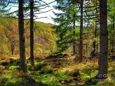 Abernethy Photograph - Abernethy Pinewood Forest 3 by Joan-Violet Stretch