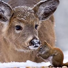 "SQUIRREL: "" Everyone must endure winter if yer a wildwood folk. [DEER: "" Me knows dat lil' squirrel, but we don'ts haz to likes it. Animals And Pets, Baby Animals, Funny Animals, Cute Animals, Especie Animal, Mundo Animal, Beautiful Creatures, Animals Beautiful, Beautiful Things"