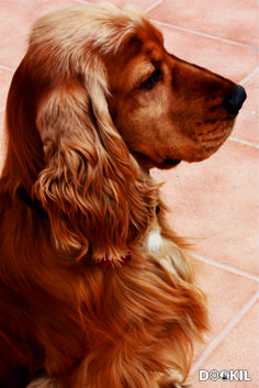 English Cocker Spaniel ~ Classic Look
