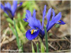 """""""Die Netziris (Iris reticulata) gehört zu meinen liebsten Frühlingsblühern."""" - aus dem Blog """"Garten am Engerain"""" - Pflanzzeit: als Blumenzwiebel im Herbst"""