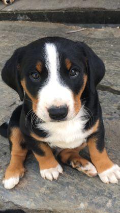 Appenzeller Sennenhund my new puppy!!!