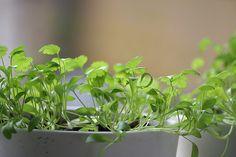 Podrobný postup jak pěstovat bylinky doma, ze semen a po té je mít v truhlíku, květináči na balkoně, nebo pokud máte zahrádku tak na záhoně Parsley, Pesto, Plants, Lifestyle, Plant, Planets
