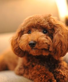 A chocolate toy poodle is a dark brown toy poodle. The correct name for the color of a chocolate poodle is brown, but brown poodles come in a range of shades from light to dark brown. Poodles come in. Poodle Cuts, Poodle Mix, Poodle Puppies, Cute Puppies, Cute Dogs, Dogs And Puppies, Doggies, 15 Dogs, Fluffy Puppies