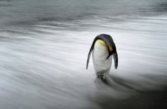 This lone king penguin was standing in the surf before sunrise on South Georgia Island, and stood still enough for me to take this long exposure. | Smithsonian Photo Contest | Smithsonian