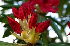 Zbigniew Włodarski, notes: Rododendron/Rhododendron/Azalia/Różanecznik