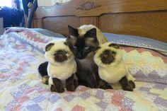 Kitten Pics, Tonkinese, Oriental Cat, Cat Feeder, Havana Brown, Russian Blue, Burmese, Siamese Cats, Himalayan